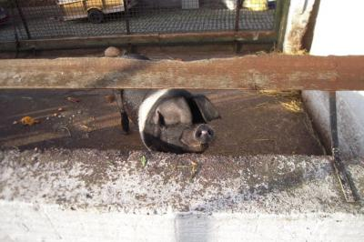 One of the pair of pigs at Gorgie Farm